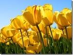 Windows-Live-Writer/6f2bc43a9d65_E5EF/Tulips_thumb.jpg